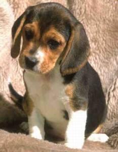 beagle01